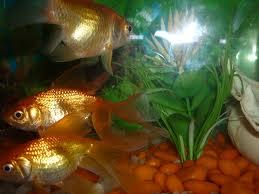 pez dorado1