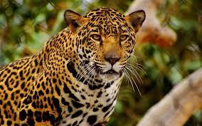 leopardo22